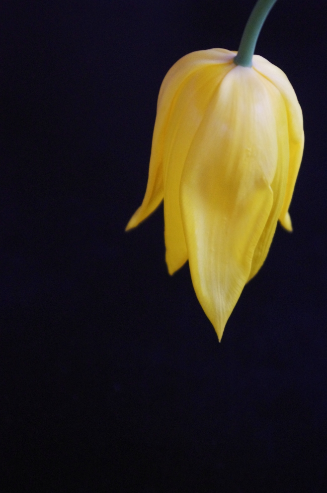 yellow tulip-006